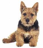 Norwich Terrier Rescue